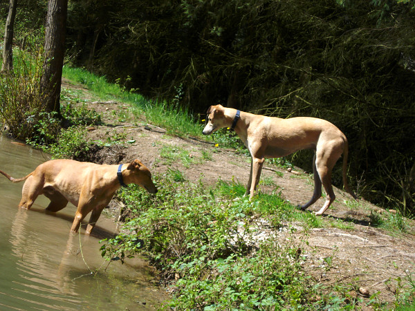Greyhounds am Teich